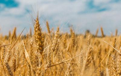 Vermoeid door tarwe in je voeding?