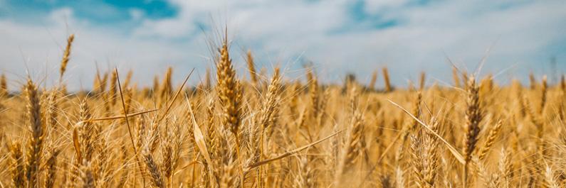 Vermoeidheid door tarwe