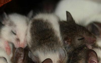 Leidt slaaptekort tot verlies van hersencellen?
