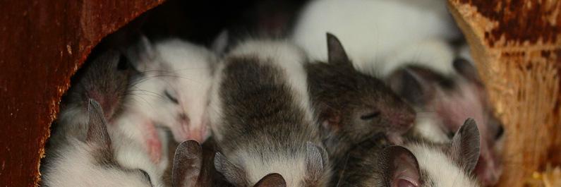 Slapende muizen